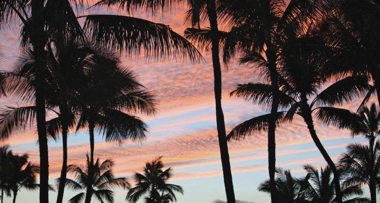 Los cocoteros contra el atardecer hawaiano.