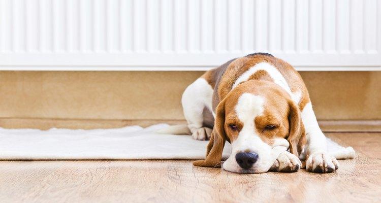 Toma la temperatura de tu perra conforme se acerque la fecha del parto.