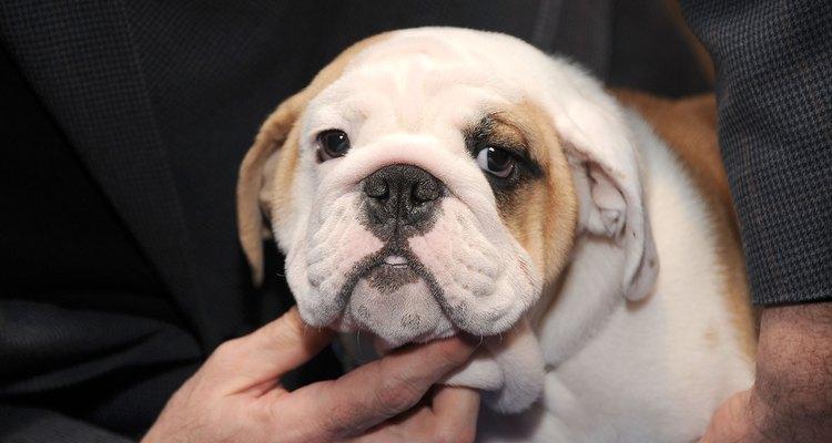 Os Bulldogs ingleses passam por algumas fases antes de chegarem a vida adulta