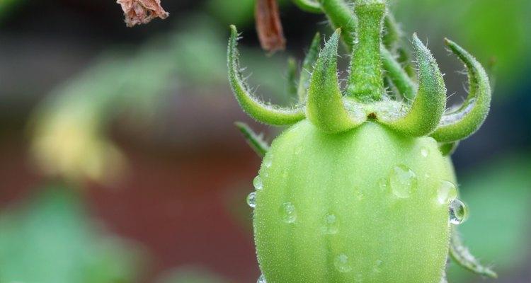 Pequeno tomate verde em uma vinha