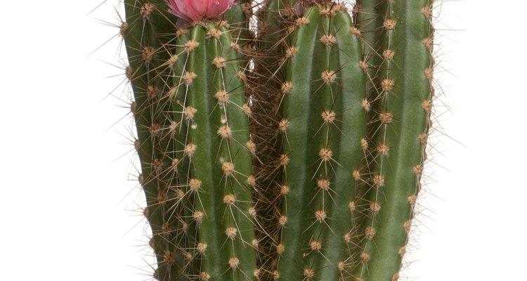 Algunas especies de cactus añaden color al paisaje del desierto.