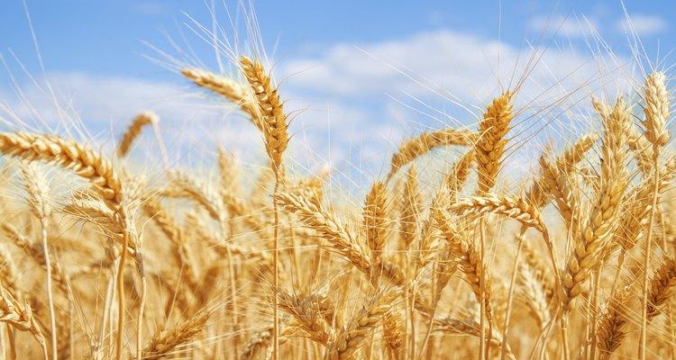O trigo ajuda a prevenir doenças degenerativas