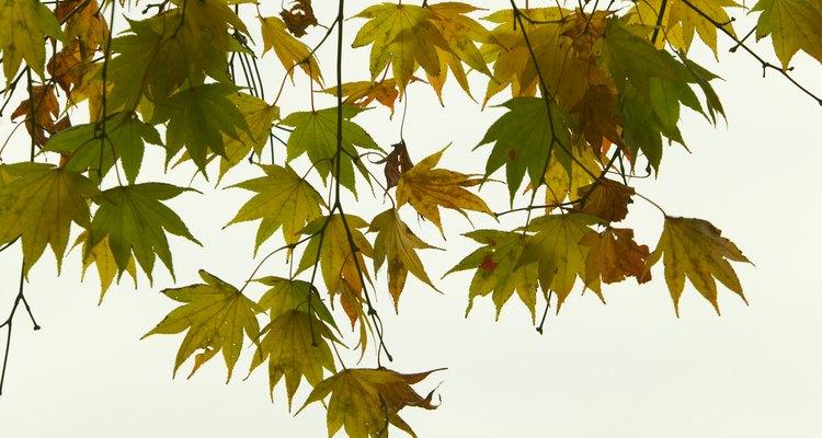 Los arces japoneses, con su follaje transparente, pueden mejorar el aspecto de un jardín pequeño.