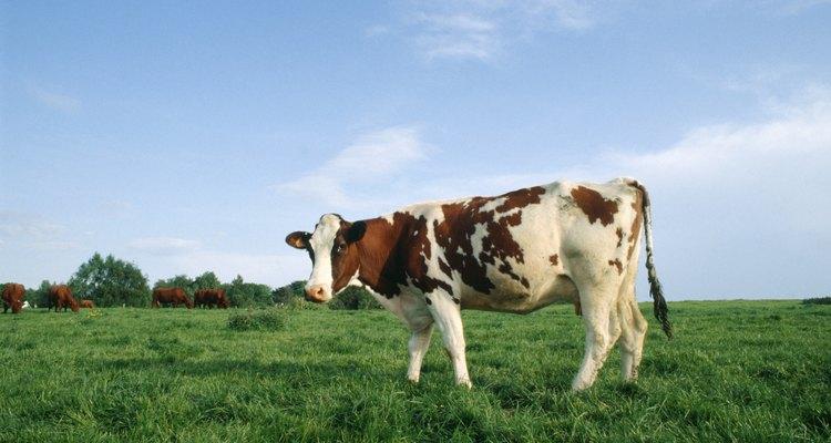 La vaca se separa de la manada antes de parir.