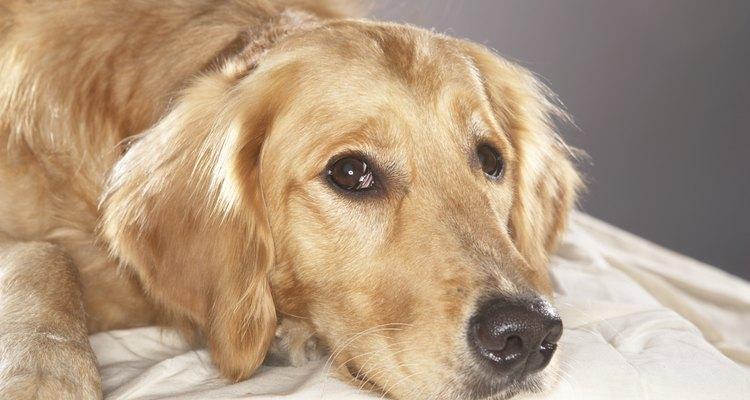 Las infecciones en los perros deben ser tratadas con antibióticos.