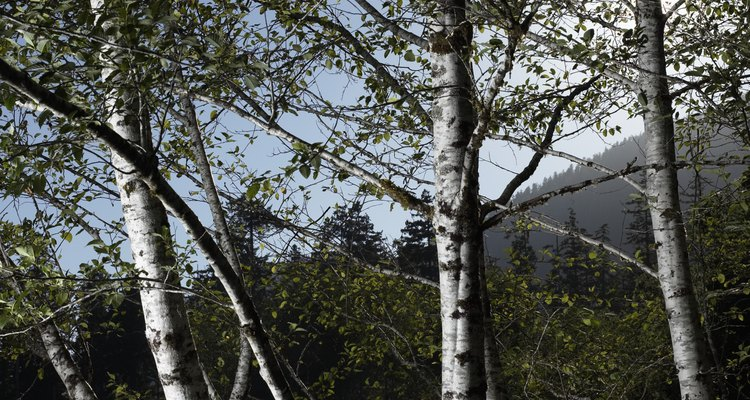 Silver birch look attractive planted in groups, but infection can spread between trees.