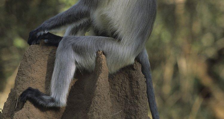 Um langur (Presbytis entellus) em uma floresta tropical sazonal perto de Nagarhole, na Índia