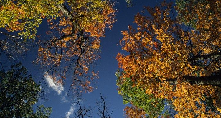 El arce de azucarero es muy apreciado por sus colores de otoño.