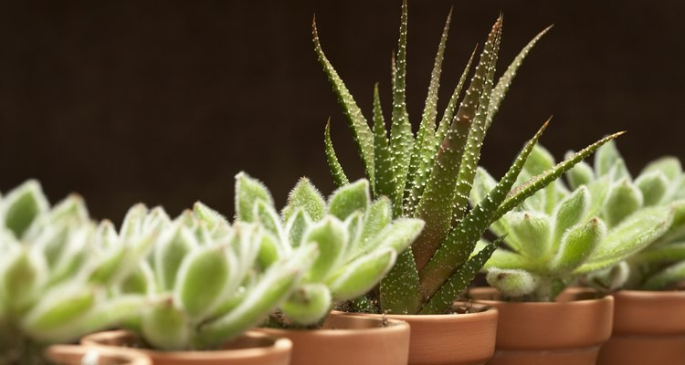 Cactus plants thrive in poor soil with little water.