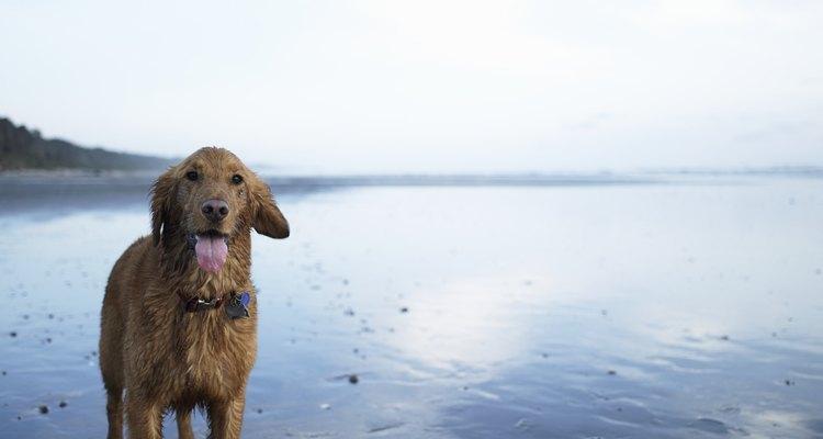 Várias coisas podem ser feitas para aumentar a libido de seu cão