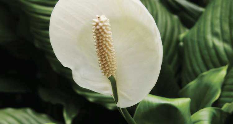 Collect peace lily seeds to propagate the plant.