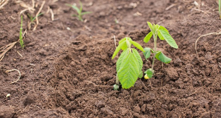 Young organic soy plants on a farm