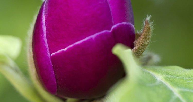 Flor de uma magnólia pires