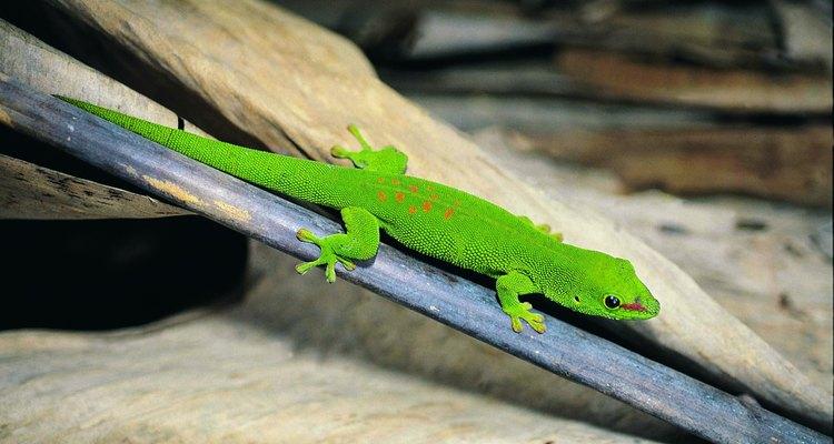 Existem formas éticas de livrar sua casa e seu jardim de uma infestação pelo lagarto gecko