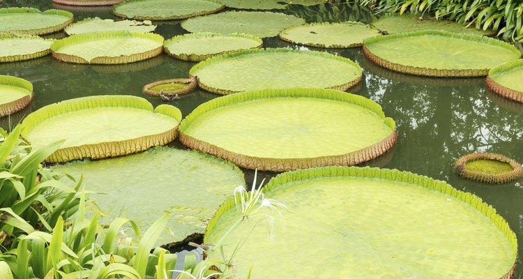 As folhas da vitória-régia amazônica podem chegar a um diâmetro de 2,4 m