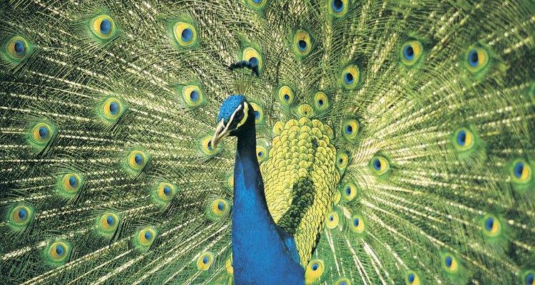 Um pavão e sua exuberante plumagem