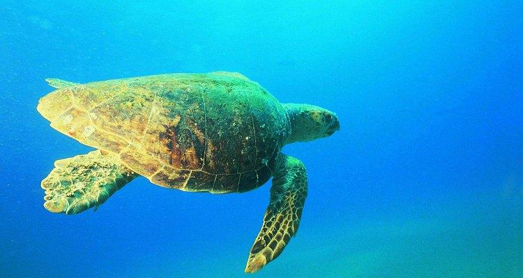 As tartarugas-cabeçudas nadam no Mar Mediterrâneo