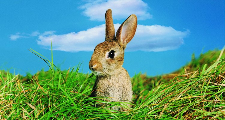 El tamaño del conejo influye en la velocidad.