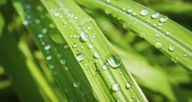La planta de citronela es ideal para los lugares con clima cálido, en los porches, los  patios, las terrazas y los jardines de flores.