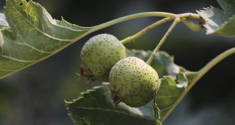 Um fruto verde do espinheiro branco