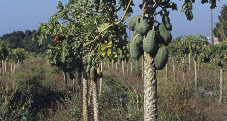Establece una programación regular de fertilización para los árboles de papaya cuando sean jóvenes.