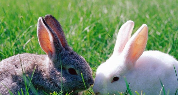 Cuidar de bebês de coelho órfãos pode ser desafiador