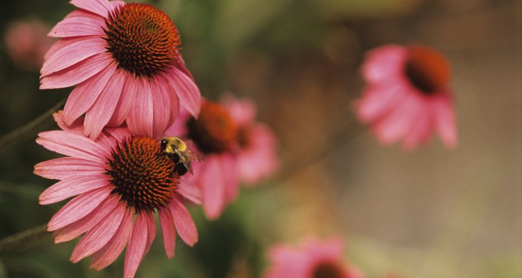 Purple coneflowers are a favourite perennial.