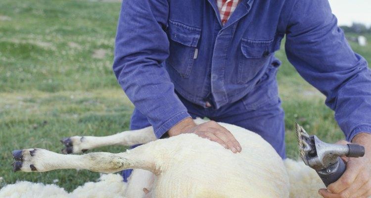 Tosquiadeiras de ovelhas devem ser afiadas regularmente