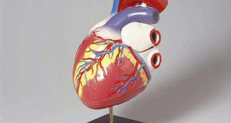 Modelo do coração humano