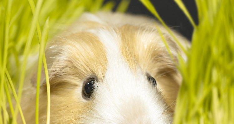 Micose em porquinhos-da-índia