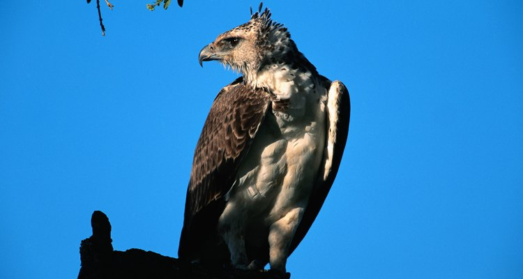 The African martial eagle sitting on a perch