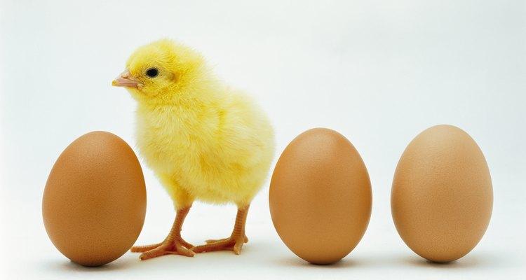 Los pollitos nacen con los ojos abiertos.