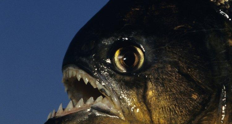La piraña roja es una de las especies más agresivas de la piraña.