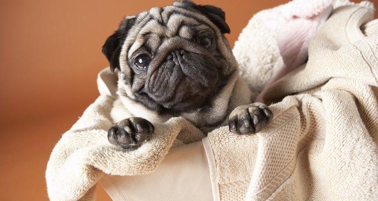 Durante las primeras semanas de vida, la madre proveerá todo el cuidado que los cachorros necesitan.