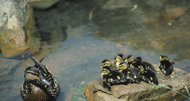 Mallard ducklings are black and yellow with striped heads.