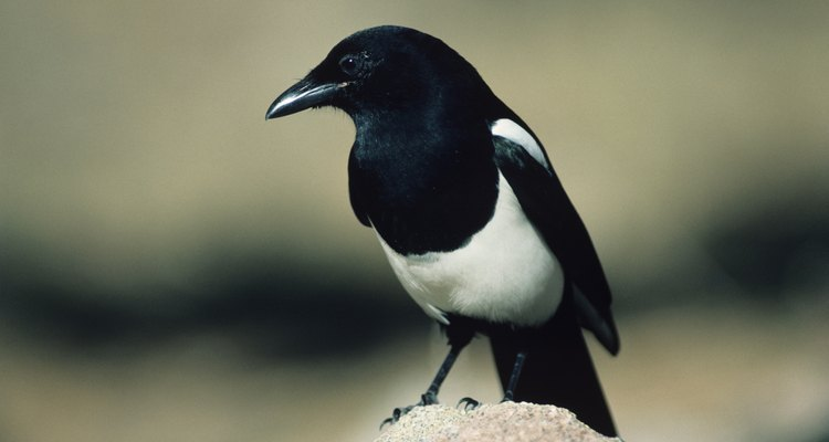 Magpies like to steal shiny objects.