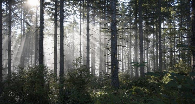 A manutenção e o reflorestamento de pinheiros são atividades que se enquadram na prática da silvicultura