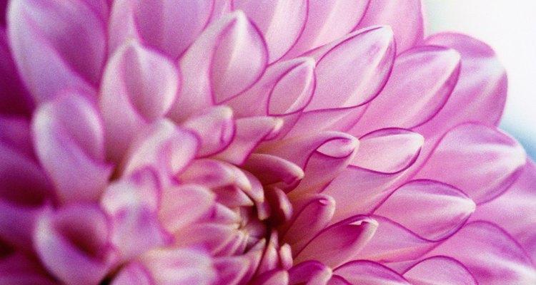 La dalia es una planta originaria del centro de México.