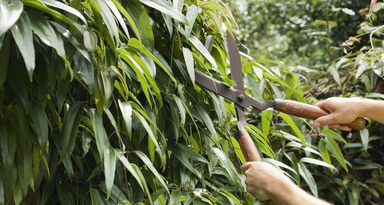 La graviola crece en la selva amazónica de Sudamérica y de las Islas del Caribe.