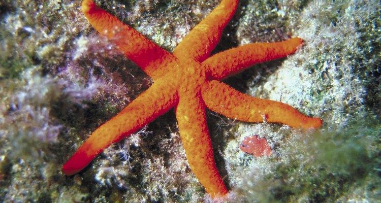 A estrela-do-mar se alimenta de mexilhões e outras pequenas criaturas subaquáticas