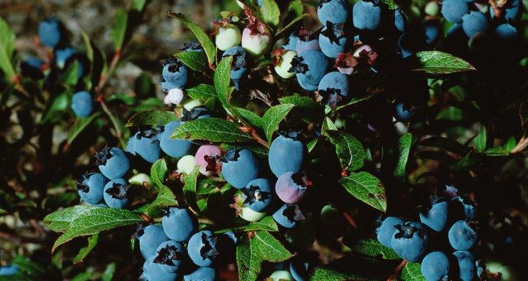 Os mirtilos possuem sementes pequeninas encontradas no interior da fruta