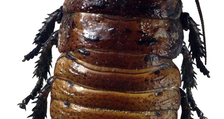 Las cucarachas se reproducen profusamente.