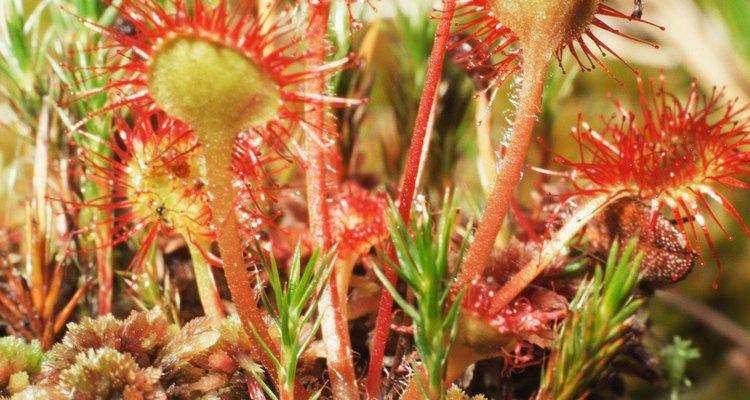 La familia drosera de las plantas carnívoras puede ser encontrada en todos los continentes del planeta.