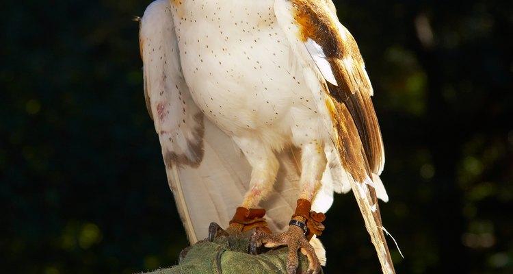 As corujas são caçadoras noturnas que são conhecidas por abocanhar pequenos roedores e até mesmo animais domésticos aleatórios