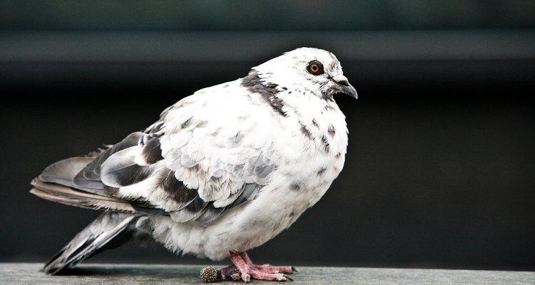O sexo dos pombos não pode ser determinado apenas pela aparência