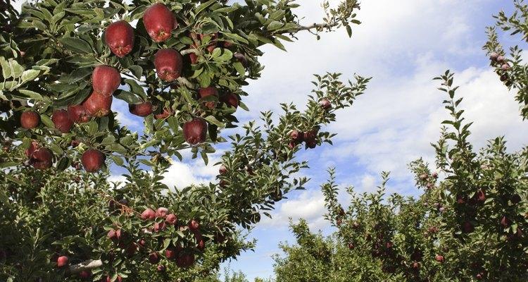 Siembra manzanos tiernos a principios de mediados de primavera.