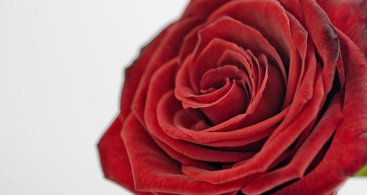 Entenda o que pode estar prejudicando suas roseiras