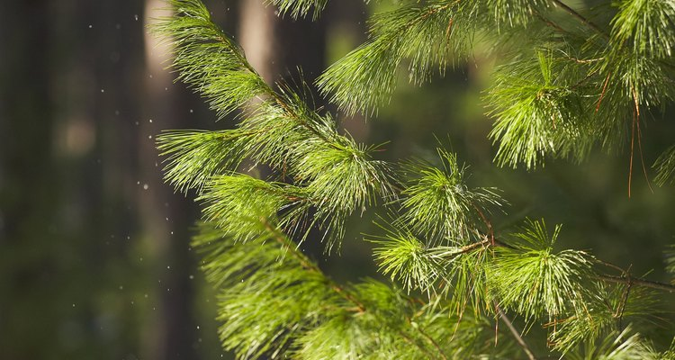 Pine trees are evergreens but they do replace their needles, dropping the old ones on your yard.