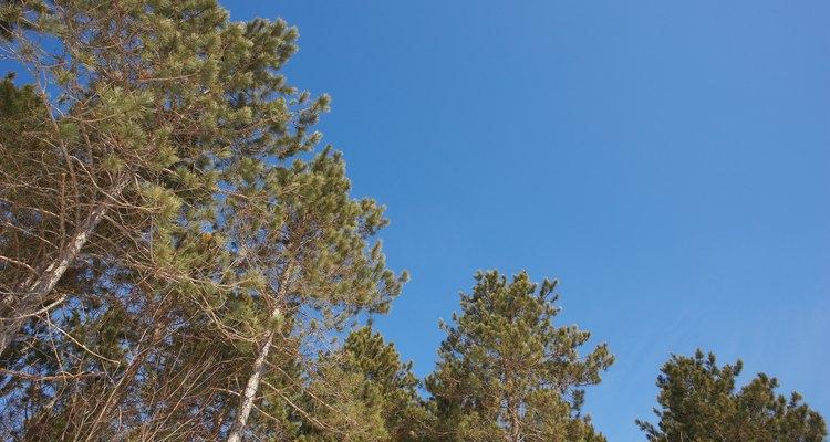 O ciclo de vida de um pinheiro começa e termina como uma árvore adulta
