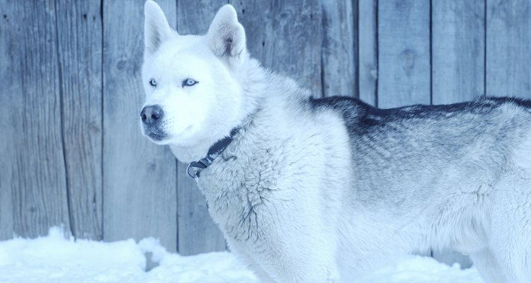 Siberian Huskies are bred for harsh, cold climates.